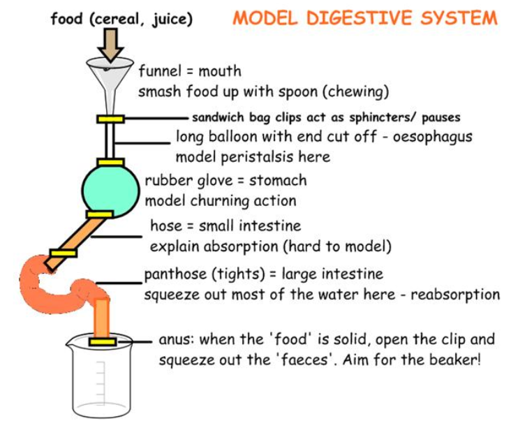 Digestive System Measurements Worksheet